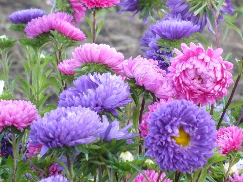 Астры - великолепные цветы, которые цветут в августе