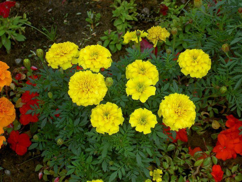 Бархатцы отклоненные имеют ярко-желтую окраску