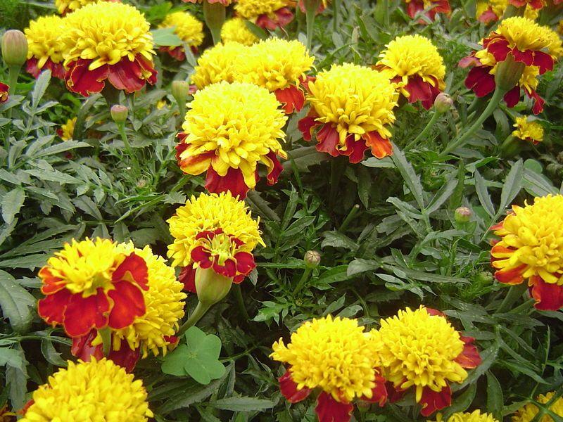 Бархатцы - очень красивое и яркое растение для дачи