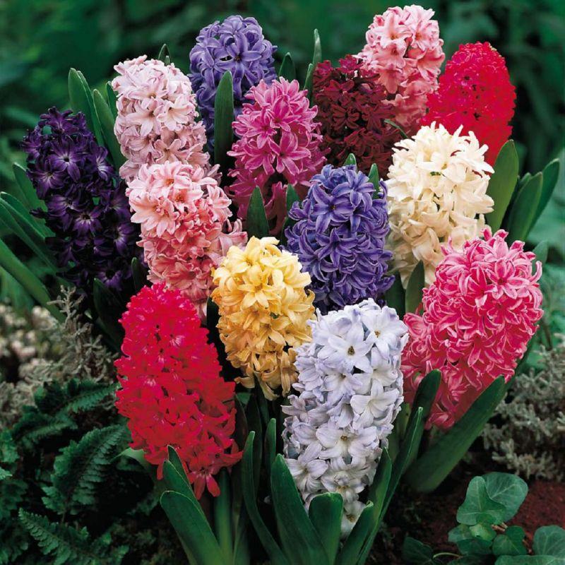 Гиацинты - яркие цветы, которые используются для создания клумб