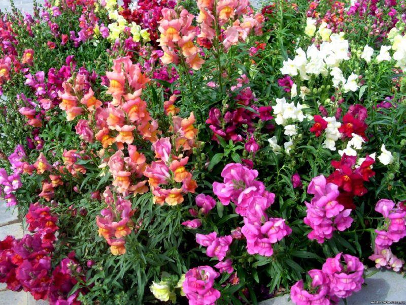 Львиный зев - цветы, которые зацветают в октябре