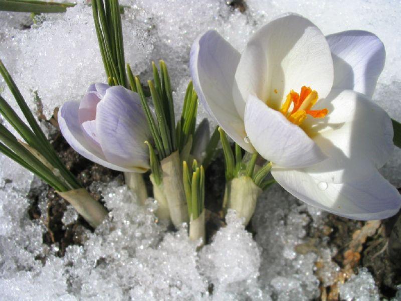 Подснежник - красивый цветок, который зацветает в марте
