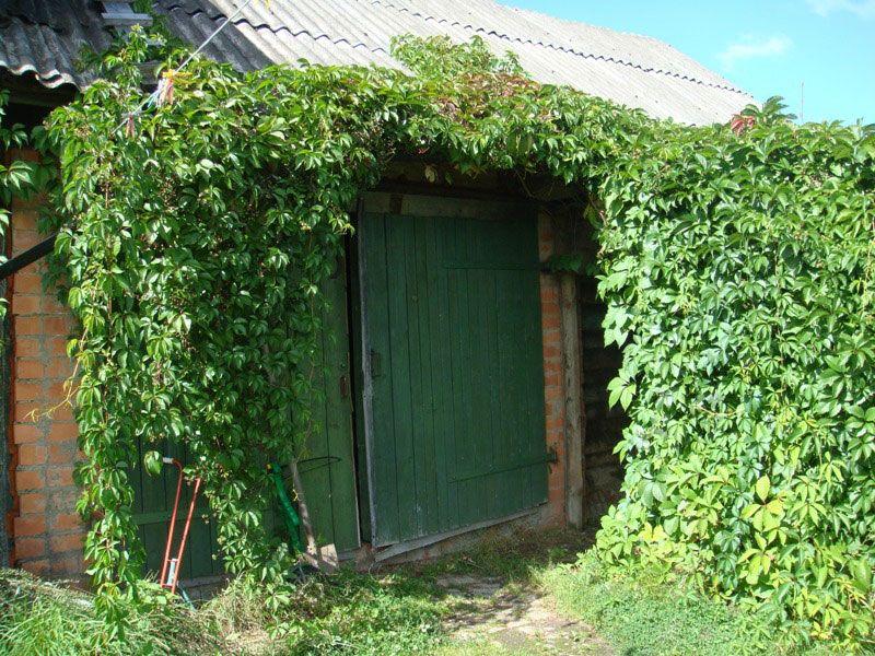 Дикий виноград можно сажать саженцами, черенками или семенами