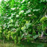 Сажать виноград можно осенью или весной