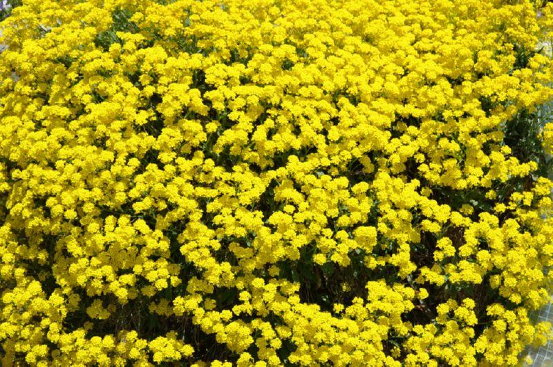 Алиссум - влагоустойчивое растение для сада