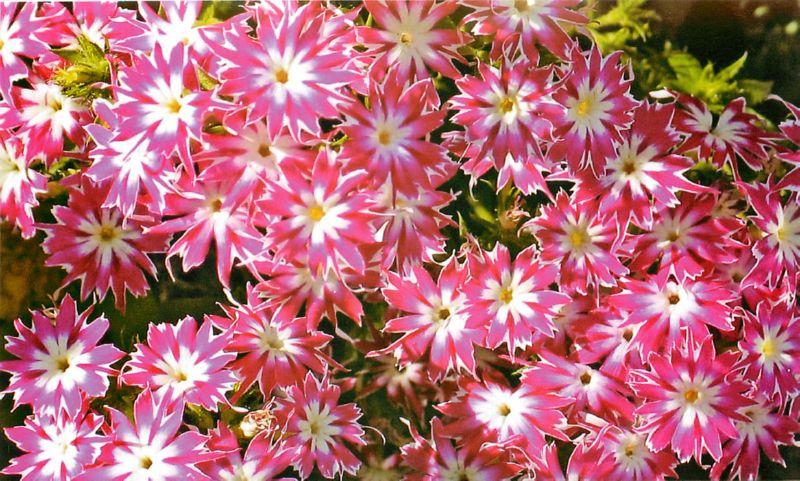 Флокс Друммонда - великолепный цветок для вашей дачи