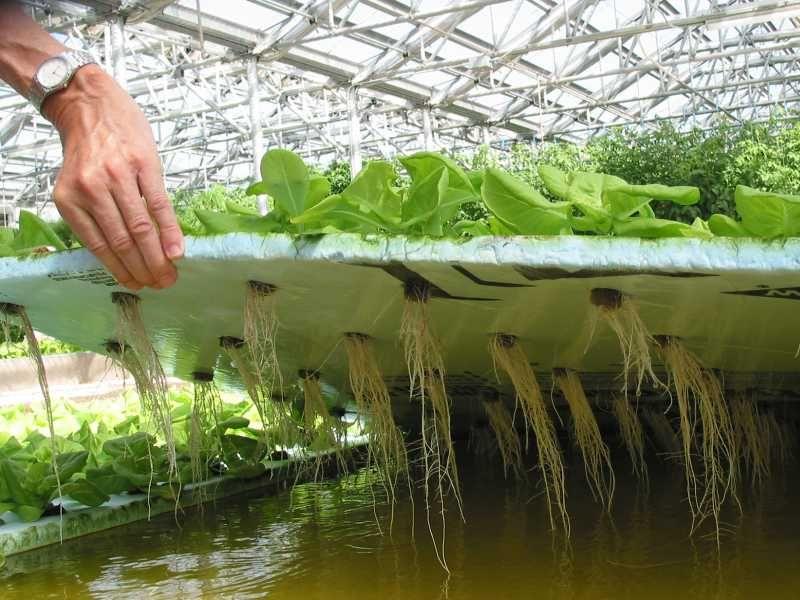 Метод гидропоники позволяет получить урожай быстрее