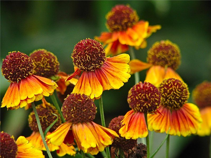 осенние цветы в саду фото и названия многолетние