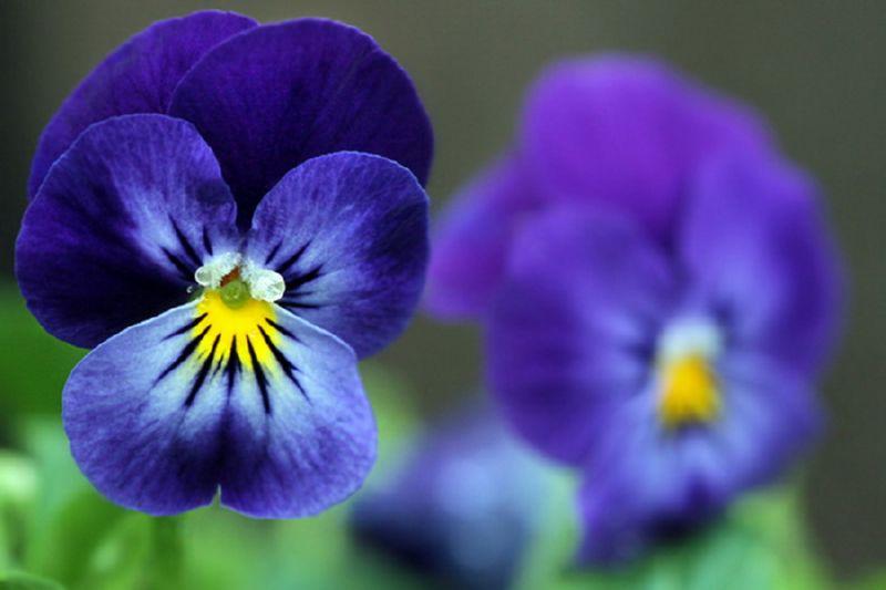 Анютины глазки - тенеустойчивое растение