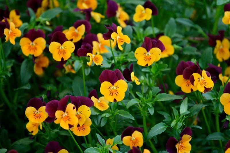 Анютины глазки подчеркнуть среднерослые цветы на клумбе