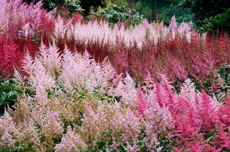Астильба - красивое влаголюбивое растение для дачи