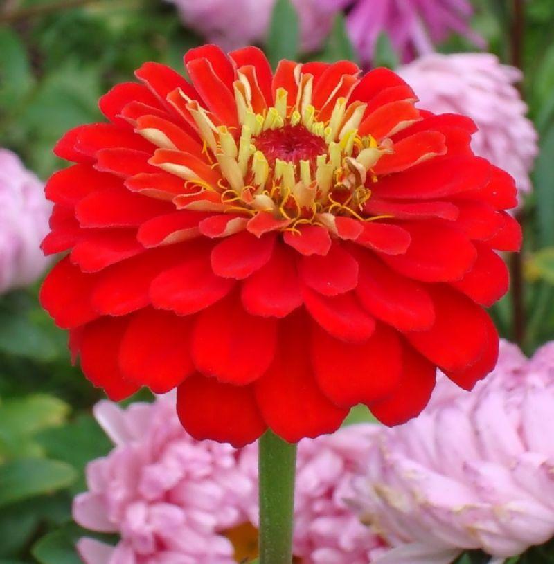 Размер цветка циннии золотистой достигает 10 см