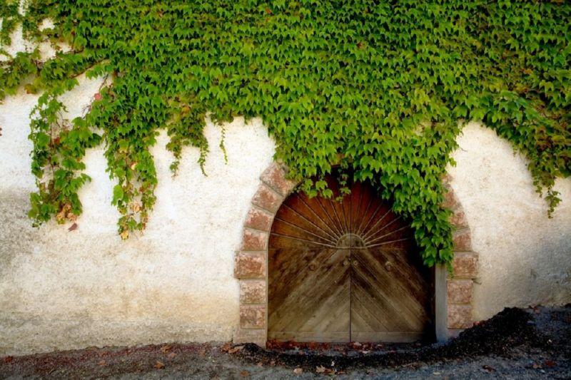 Девичий виноград создает непроходимую зеленую стену