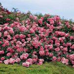 элегантный розарий