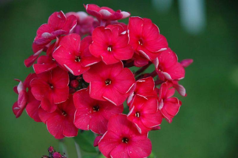 Флоксы - цветы, которые могут иметь разную расцветку