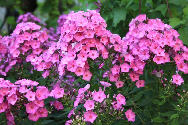 Флоксы - высокорослое растение
