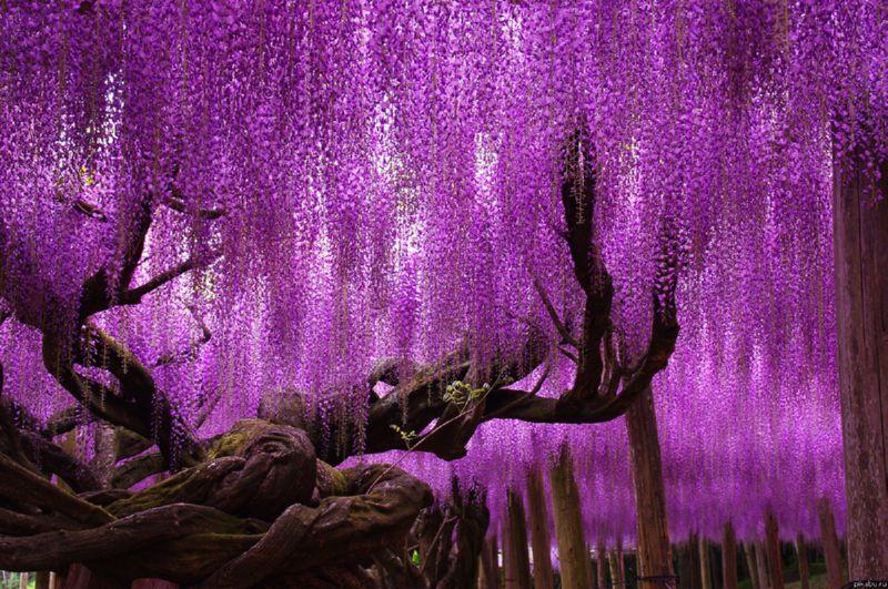 Глициния - очень красивое и необычное растение
