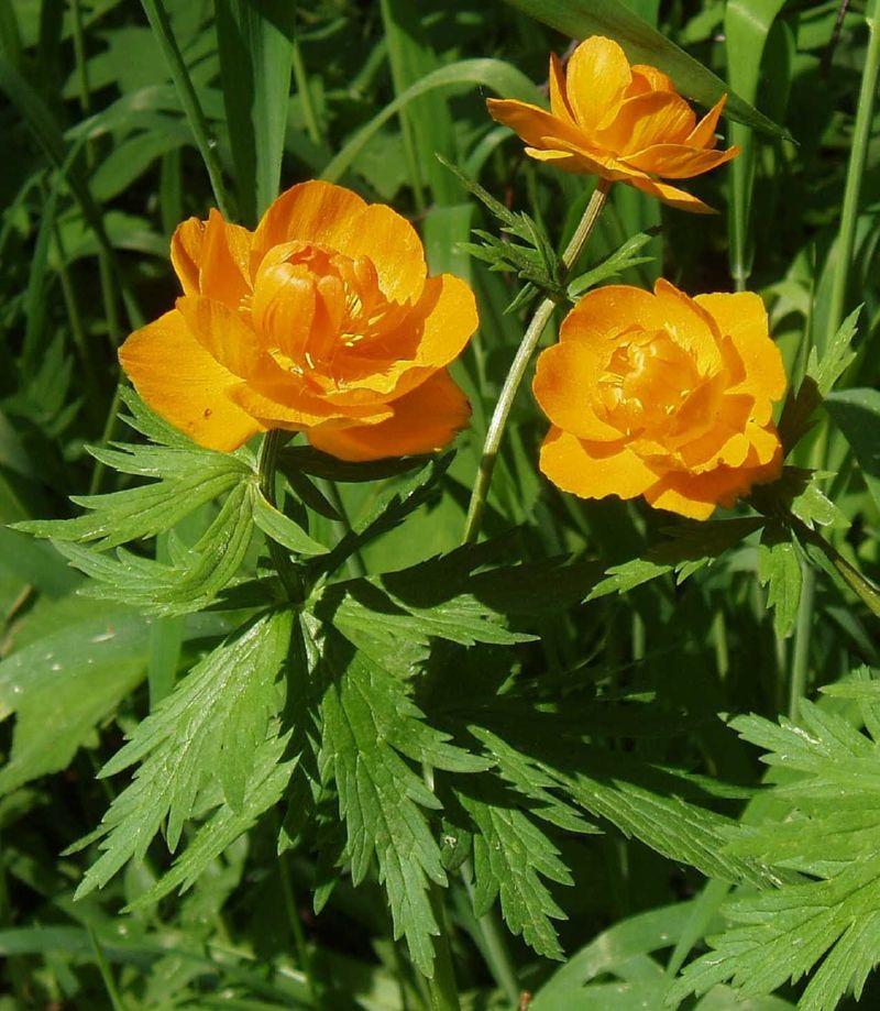 Купальница - красивое влаголюбивое растение