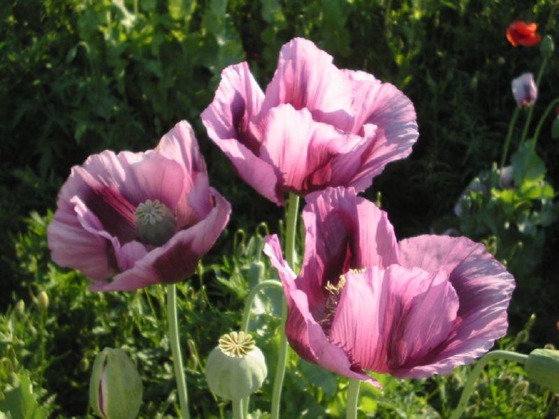 Расцветка мака может быть разной