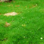 С помощью мшанки шиловидной можно создать очень красивый газон