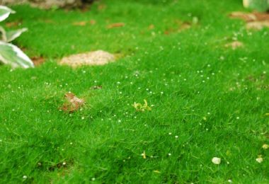С помощью мшанки шиловижной можно создать очень красивый газон
