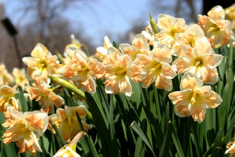 Нарцисс имеет очень яркий аромат