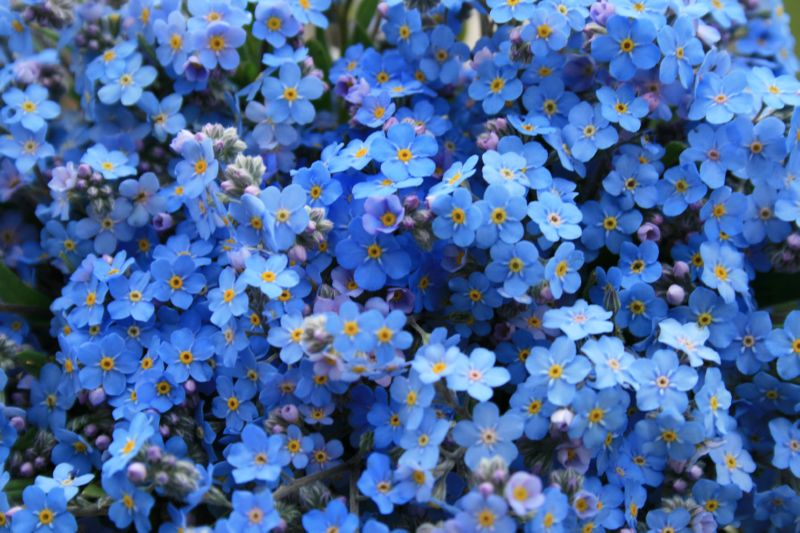Незабудка цветет с мая по июнь