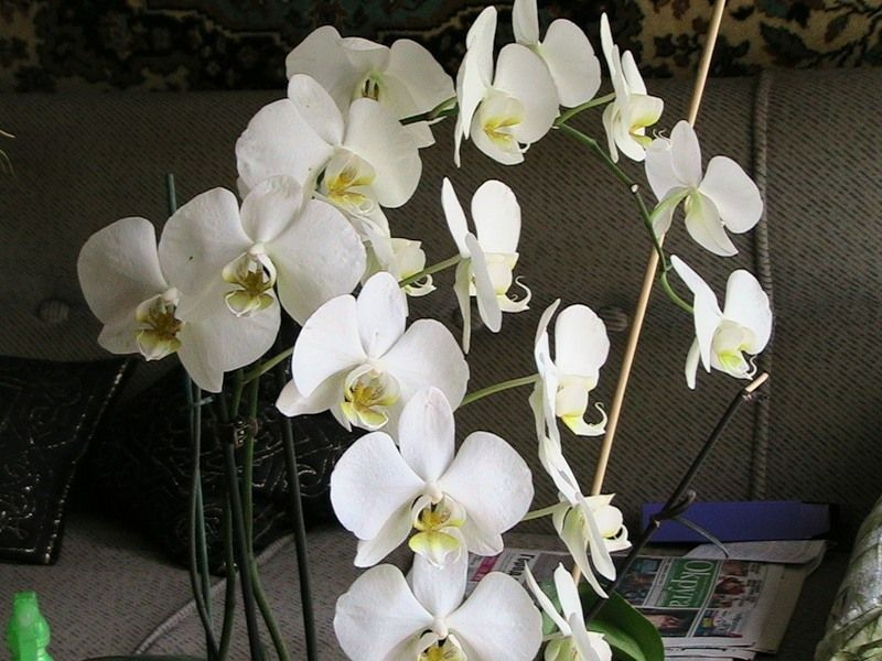 Орхидея Фалепсис прекрасно растет в домашних условиях при правильном уходе
