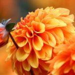 Осенние цветы позволяют наслаждаться клумбами до самой зимы