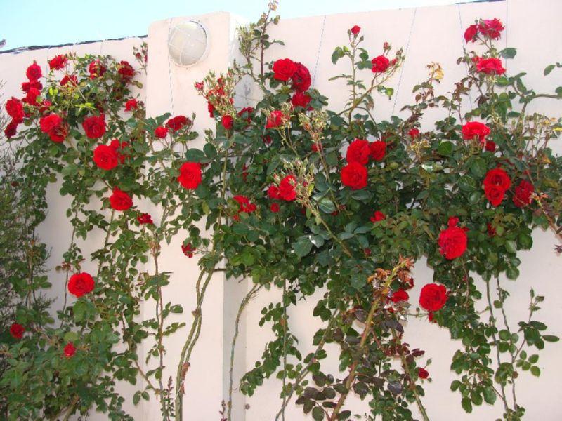 Плетистая роза цветет на протяжении месяца раз в году
