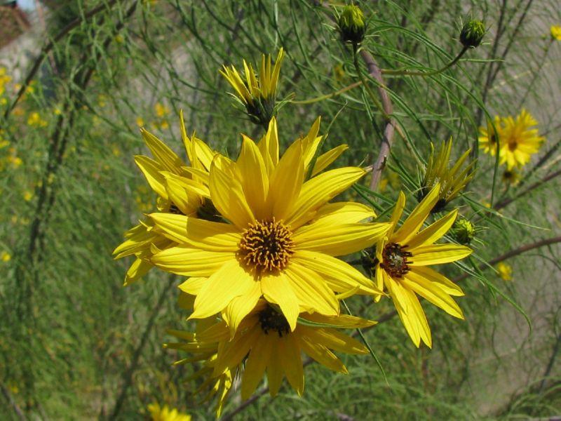 Подсолнечник иволистый имеет насыщенный желтый цвет