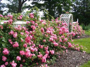 розовый розарий