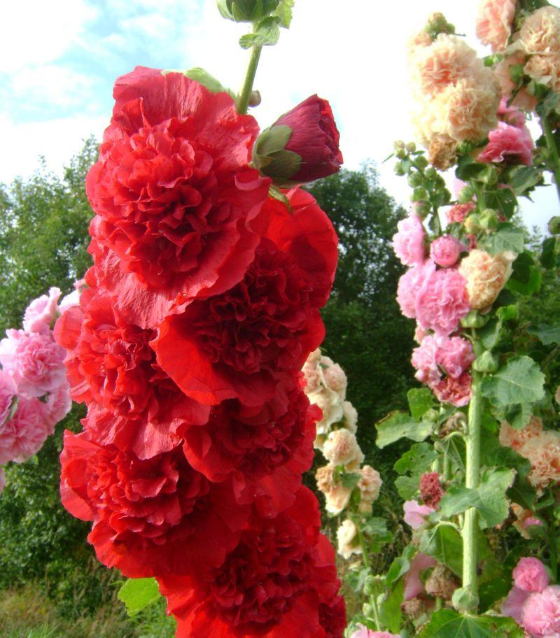 Шток-роза - цветок необычной красоты