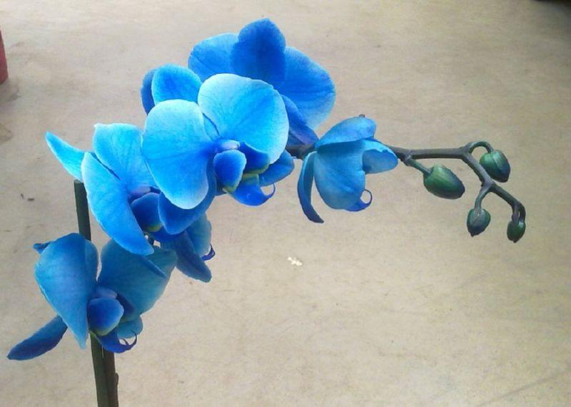 Красивая синяя орхидея
