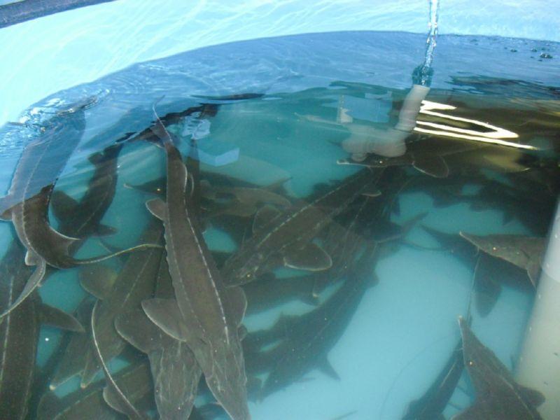 способы разведения рыб