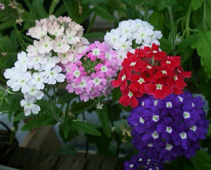 Вербена может иметь разную расцветку
