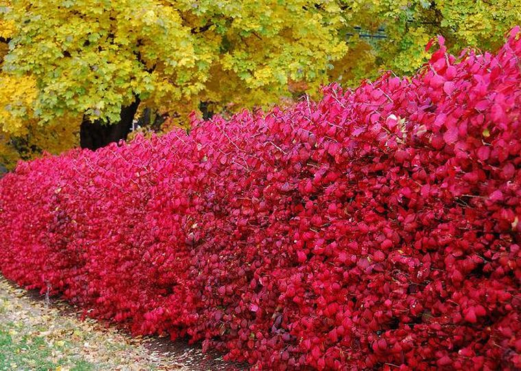 Как сажать кусты барбариса осенью 87