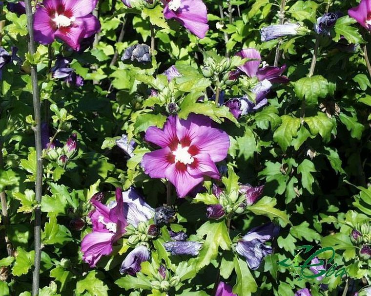 Цветки гибискуса