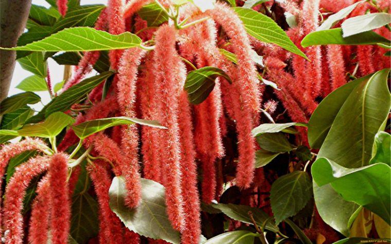 Амарант посадка, выращивание и уход в открытом грунте, фото цветка