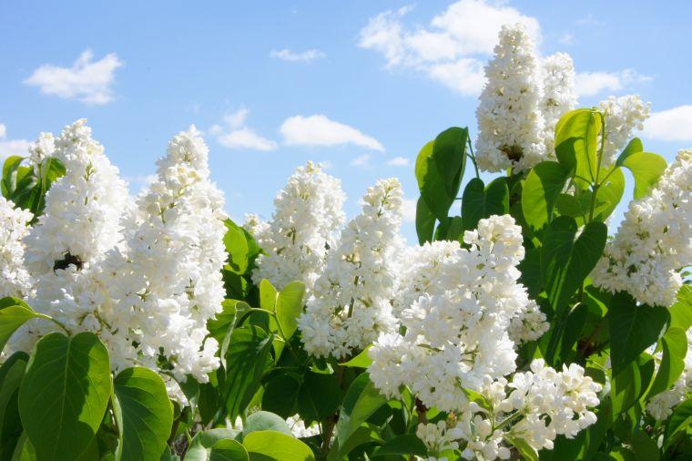 Садовая белая сирень