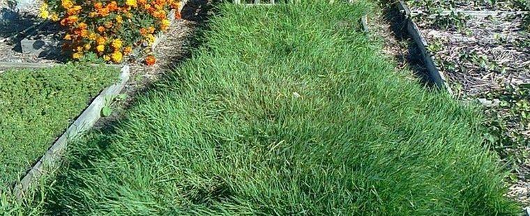 газон дачный