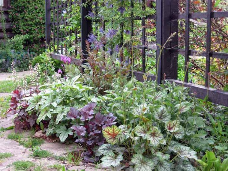 гейхера в саду
