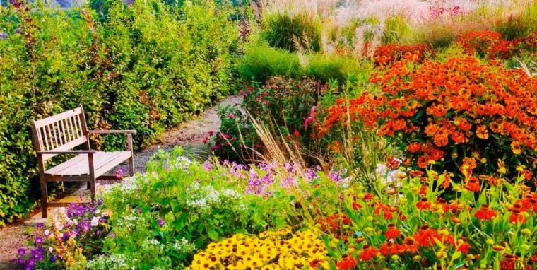 Гелениум в саду