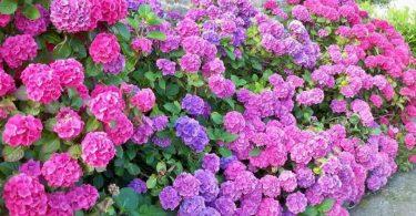 гортензии садовые