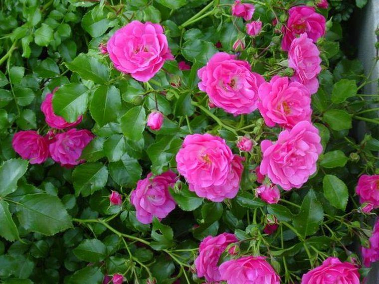Выращивание шиповника на розы 126