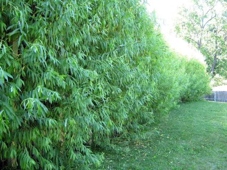 Быстрорастущий кустарник для живой изгороди
