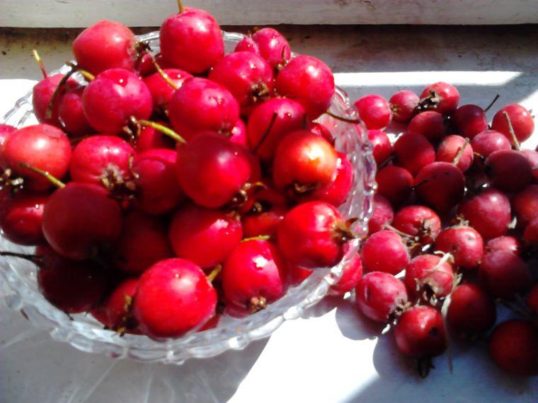 Собранные плоды боярышника