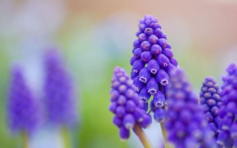 Цветок мускари