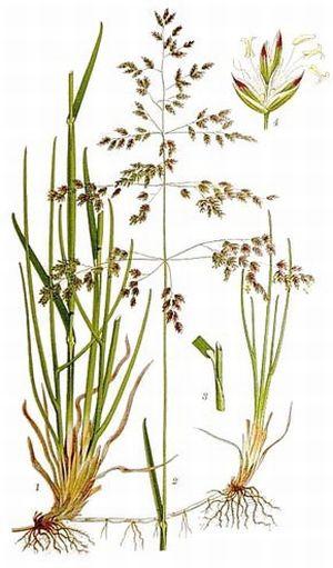 Растение мятлик