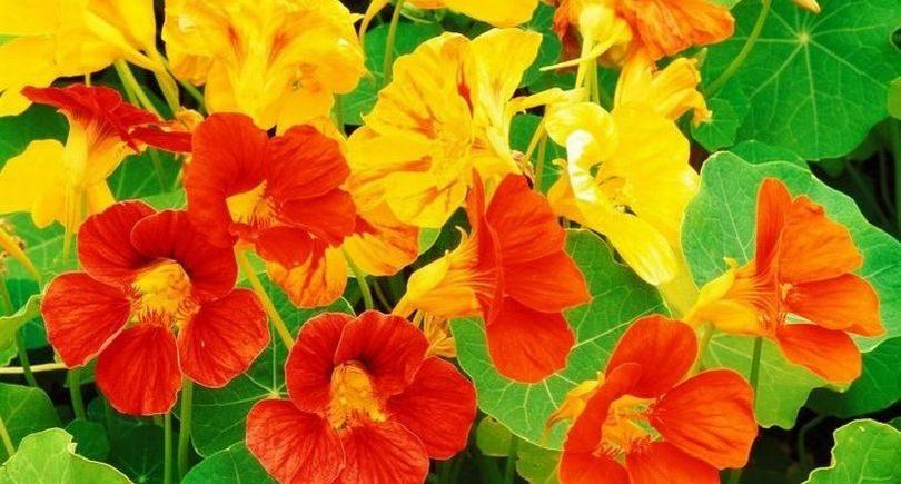 настурция цветет